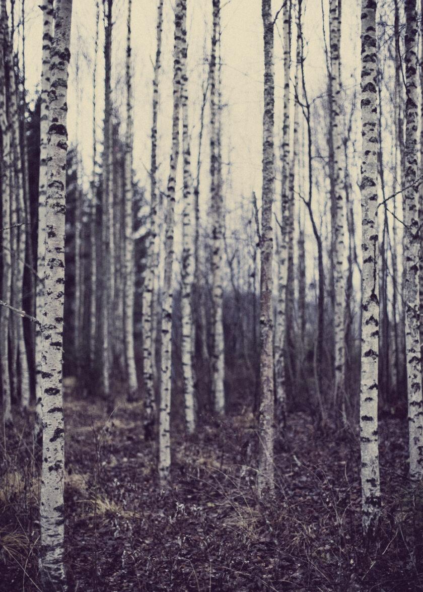 karg och mörk björkskog